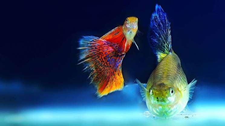 rybki w akwarium, pixabay
